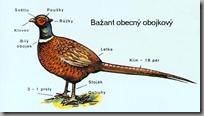 bazant_obojkovy