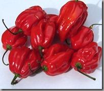 caribbean_habanero_pepper