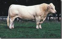 charolais býk - masíčko prvotřídní